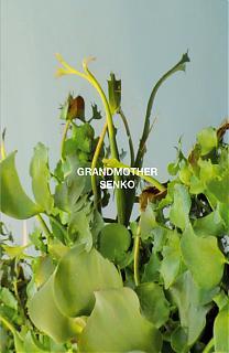 Grandmother / Senko