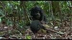Extrait 2 : Chimpanz�s