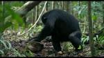 Extrait 3 : Chimpanz�s