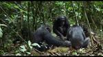 Extrait 5 : Chimpanz�s