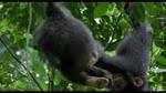 Extrait 7 : Chimpanz�s