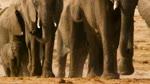 Extrait 3 : Les éléphants d'afrique : Nature